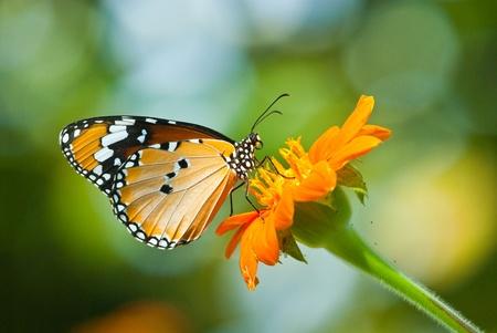macro animals: Orange butterfly on flower, Thailand.