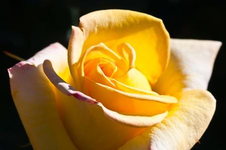 Close-up inside of rose, Thailand. photo