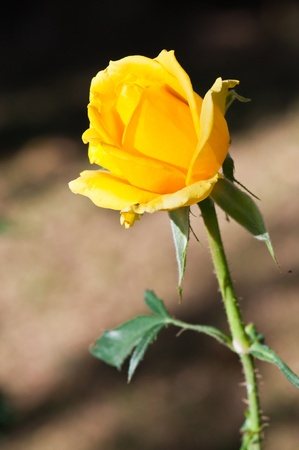 Close-up of yellow rose, Thailand.