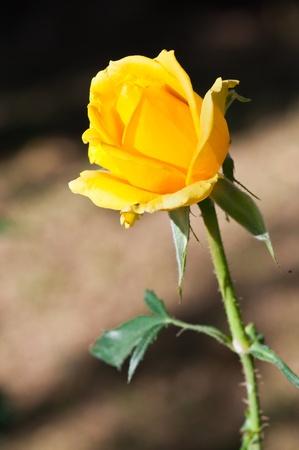 Gros plan de rose jaune, Thaïlande. Banque d'images - 8350275