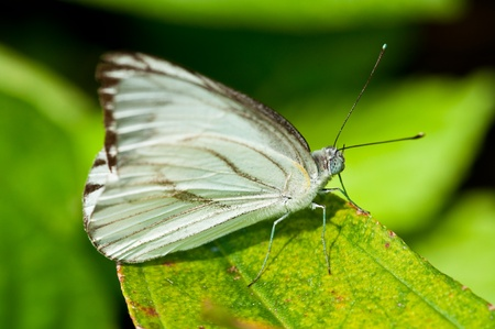 White butterfly on green leaf, Thailand. Stock Photo - 8628018