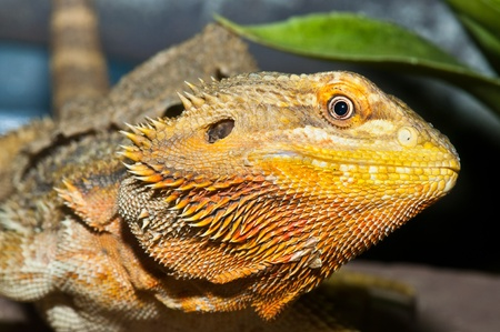 Closeup of Bearded Dragons head, Thailand. Stock Photo - 8732451