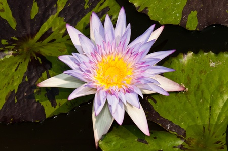 Yellow stamen in violet lotus in water, Thailand. Stock Photo - 8732497