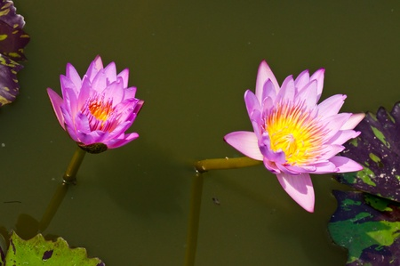 Two violet lotuses in the water, Thailand. photo