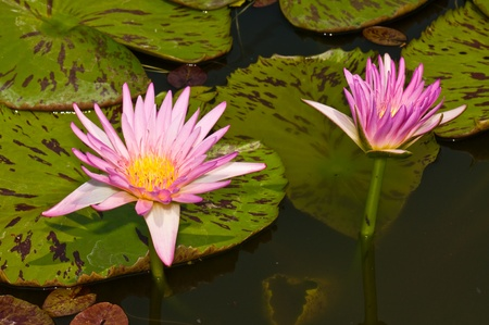 Two pink  lotuses in the water, Thailand. photo