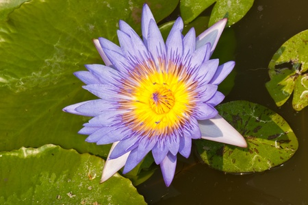 Violet lotus in the water, Thailand. photo