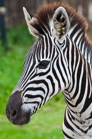 Head of zebra in green field, Thailand.