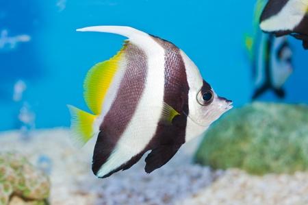 Schooling bannerfish on blue screen, Thailand.