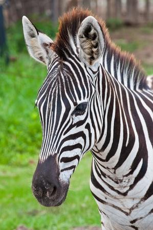 Head of zebra in green field, Thailand.