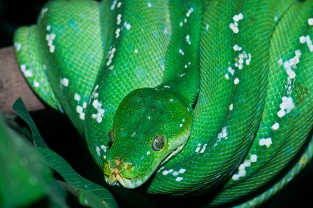 Close Uup of Green Tree Python in the zoo, Thailand.