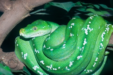 python: Close Uup of Green Tree Python in the zoo, Thailand.