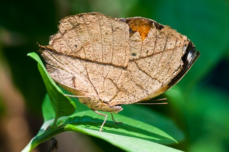 Brown butterfly on leaf, Thailand. photo