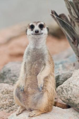 meerkat: A meerkat on rock, Thailand. Stock Photo