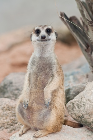 A meerkat on rock, Thailand. Stock Photo