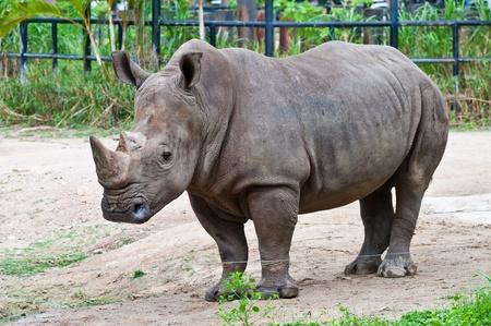 Portrait of White Rhinoceros