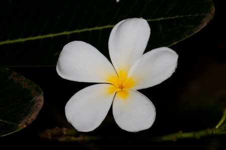 Close-up of beautiful white plumeria with black screen, Thailand. Stock Photo - 10201926