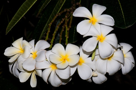 Close-up of beautiful white plumeria with black screen, Thailand. Stock Photo - 10201929