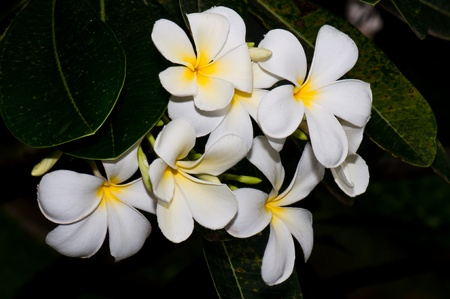 Close-up of beautiful white plumeria with black screen, Thailand. photo