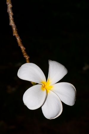Close-up of beautiful white plumeria with black screen, Thailand. Stock Photo - 10201924