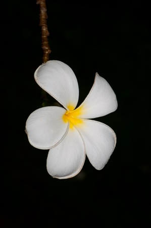 Close-up of beautiful white plumeria with black screen, Thailand. Stock Photo - 10201921