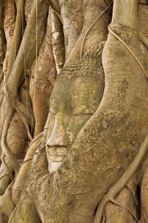 Head of buddha in root, Ayuthaya province, Thailand. Stock Photo - 10201954