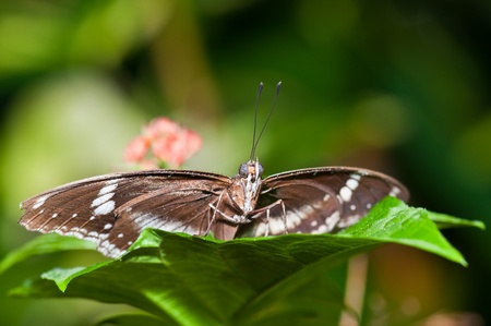 Closeup of brown butterfly, Thailand. photo