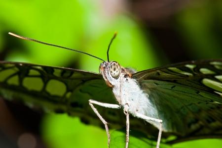 entomological: Closeup of grey butterfly, Thailand.