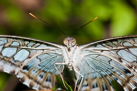 Closeup of grey butterfly, Thailand.