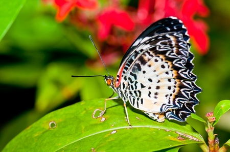 Beautiful butterfly on green screen, Thailand. Stock Photo