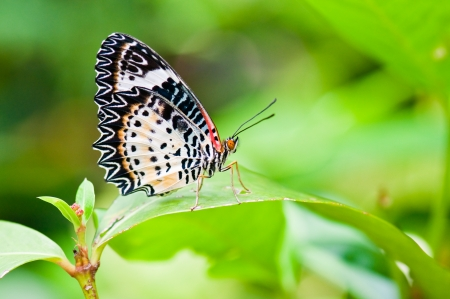 vulnerability: Beautiful butterfly on green screen, Thailand. Stock Photo