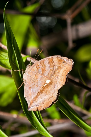 entomological: Brown butterfly on green leaf, Thailand.