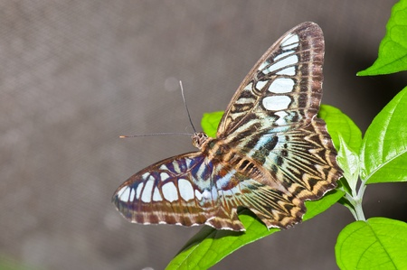 Closeup of grey butterfly , Thailand. Stock Photo - 10288644