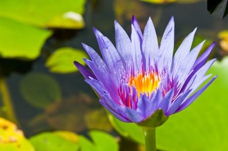 Closeup of violet lotus, Thailand.