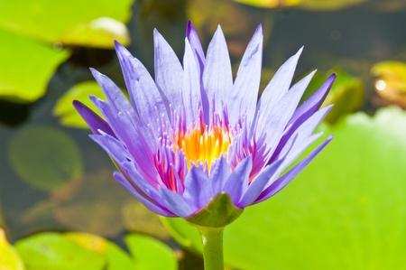 Closeup of violet lotus, Thailand. photo