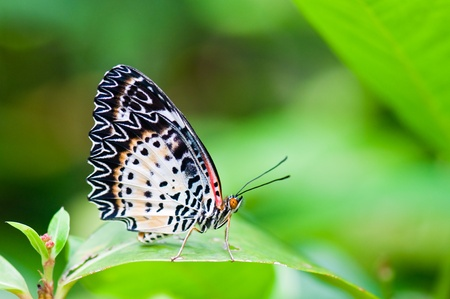 Closeup of butterfly on green screen, Thailand. photo