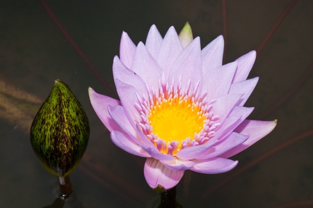 Close-up of beautiful violet lotus, Thailand. photo