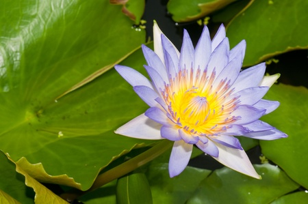 Close-up inside of beautiful violet lotus, Thailand. photo