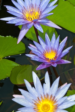 Close-up of beautiful violet lotus, Thailand. Stock Photo - 10603382