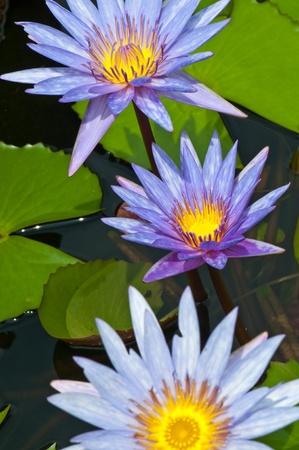 Vértes gyönyörű lila lótusz, Thaiföld.