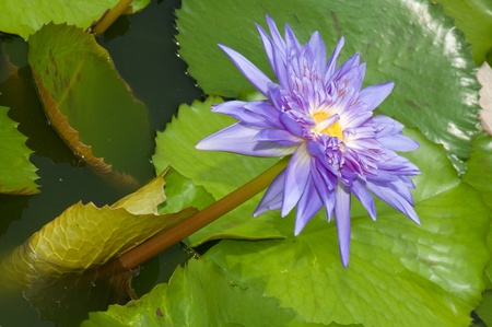Close-up of beautiful violet lotus, Thailand. photo