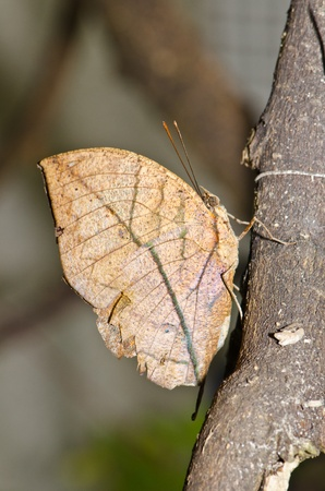Brown butterfly on brown branch, Thailand. photo