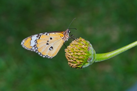 Orange butterfly on flower, Thailand  photo