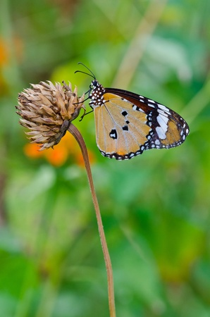 A orange butterfly on flower, Thailand  photo