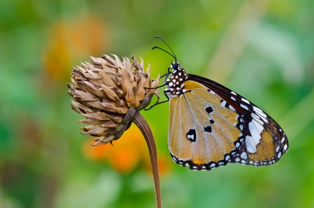 A orange butterfly on flower, Thailand. photo