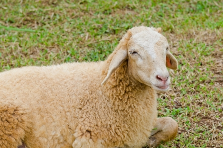 A sheep on grass floor, Thailand  photo