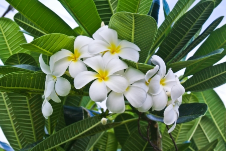 Close-up of white plumeria , Thailand  photo