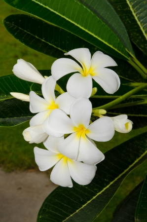 Close-up of beautiful white plumeria, Thailand. Stock Photo - 15256799