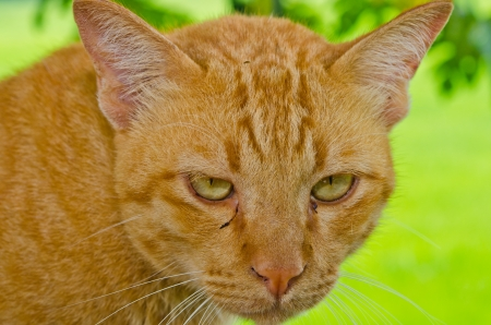 Head shot of Thai cat on green background, Thailand  photo