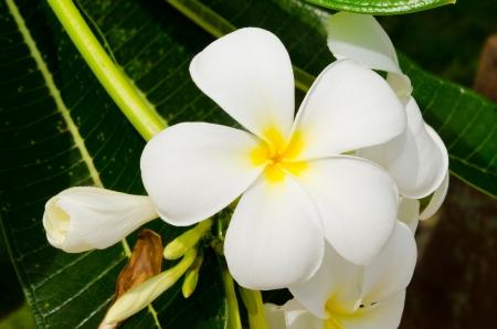 Close-up of beautiful white plumeria, Thailand Stock Photo - 15256782