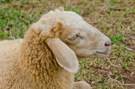 Head of brown sheep, Thailand. photo